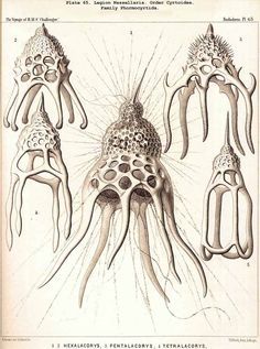 radiolaria, by Ernst Haeckel, 1887 Ernst Haeckel, La Reverie, Natural Form Art, Bio Art, Alien Art, Nature Illustration, Nature Prints, Science And Nature, Natural History