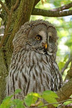 Park, Owl Barn Owl Bird Hunter Wild Bird Of Prey #park, #owl, #barn, #owl, #bird, #hunter, #wild, #bird, #of, #prey