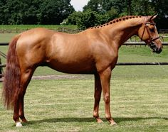 }{  Danish warmblood stallion Djorko.