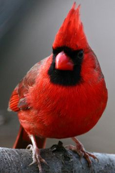I love going to Saint Louis and getting to watch all the cardinals in my monther in-laws backyard. Pretty Birds, Beautiful Birds, Animals Beautiful, Love Birds, Exotic Birds, Colorful Birds, Bird Pictures, Cardinal Pictures, State Birds