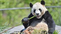 Da Mao chows down on some bamboo at the Toronto Zoo in May. Er Shun and Da Mao, a pair of giant pandas on loan from China, made their debut . Toronto Zoo, Toronto Travel, Calgary, Panda Watch, Panda Family, Zoo 2, Panda Gif, Bear Photos, Habitats