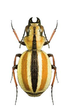 Image result for beetle weird