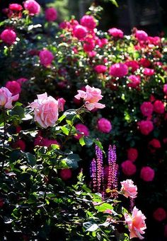 Yes, this is one lovely rose garden