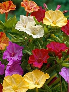 4 o'clocks-begins coming up and 1-2 weeks and it has booming growth. Blooms about 2 months after planting. Annual flower that blooms triumphantly with many colors of the rainbow and 4 in the morning and after 4 in the evening. Grows to about 3' tall.