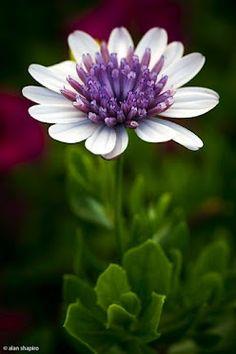 Fleur blanche et violette