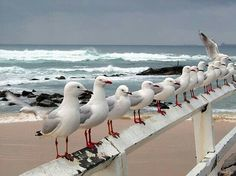 Seagulls at Nobby's Beach, Newcastle, New South Wales, Australia Image Nature, I Love The Beach, Tier Fotos, Mundo Animal, Am Meer, Sea Birds, Beach Scenes, Beach Cottages, Ocean Beach