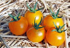 Blue Tomato INDIGO™'Starburst' F1 ブルートマト・インディゴ・スターバースト・F1