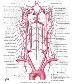 Arteries to Brain: Schema Anatomy Ophthalmic artery, Supraorbital artery, Supratrochlear artery, External nasal artery, Middle meningea. Arteries Anatomy, Brain Anatomy, Human Body Anatomy, Medical Anatomy, Human Anatomy And Physiology, Head Anatomy, Subclavian Artery, Vertebral Artery, Spirituality