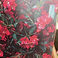 Weigela (Bristol Ruby ) from Bristol, Seeds, Garden, Plants, Painting, Garten, Lawn And Garden, Painting Art, Gardens
