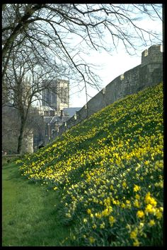 Daffodils along the walls of York, England each spring