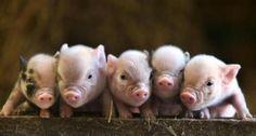 Piggies! Love em....