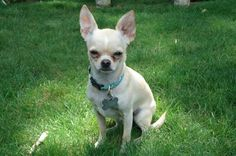 Google Image Result for http://critteristic.com/wp-content/uploads/2009/01/cute-chihuahuas-6-500.jpg