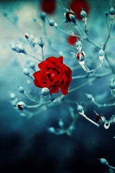 Red Rose Peeking Through...