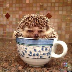 sleepy tea-time || Hedgehog in a tea cup :-)