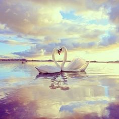Abraham-Hicks: Focusing for the Pleasure of Alignment - Law of Attraction Resource Guide Swan Love, Beautiful Swan, Beautiful Birds, Animals Beautiful, Beautiful Images, Amor Animal, Mundo Animal, Cygnus Olor, Animals And Pets