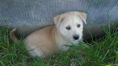 Those eyes-- husky mix puppy
