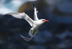 rabo-de-palha-de-bico-vermelho (Phaethon aethereus) por Oscar Abener Fenalti | Wiki Aves - A Enciclopédia das Aves do Brasil