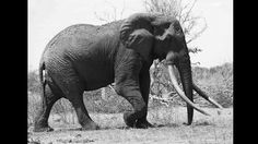 Cazadores terminan con la vida del elefante más querido de Kenya - PlanetaCNN, canal - planetacnn -  CNNMexico.com