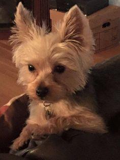 ~ Daily Dose of Cuteness ~  My ❤❤Mylo❤❤ (Shared by Sabina Pinna DeGaetano) #DogoftheDay http://aboutmorkies.com/ Follow us: Facebook.com/YorkiesMorkiesMaltese Twitter.com/morkienation #dog #doglovers #animals #pets #yorkies #yorkie #yorkielovers #petlovers #dogowners #puppy #adorablepets #sillydogs #smallanimals #instadogs #instayorkie #instapuppy #instaanimals #petsofinstagram #dogsofinstagram #yorkieofinstagram #puppylove #animallovers #ilovemypet #ilovemyyorkie #igdogs #igpets