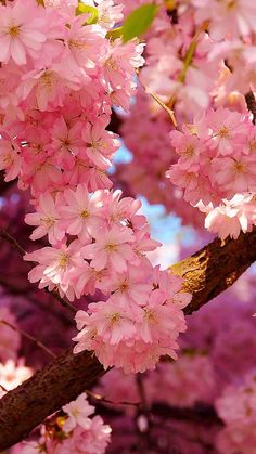 Beautiful flowers not be given away to a beautiful Flowers Frühling Wallpaper, Flower Phone Wallpaper, Wallpaper Quotes, Amazing Flowers, Pretty Flowers, Pink Flowers, Beautiful Flowers Wallpapers, Beautiful Nature Wallpaper, Dame Nature