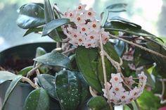 Hoya Porcelain Flower clusters
