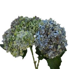 Antique Hydrangea Blue Flower
