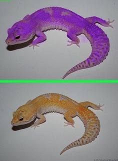 Fake - Purple Morph Gecko - The original image of a 'Raptor' Leopard Gecko is on the bottom. (by @littiechief)