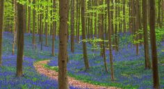 Het Hallerbos (België) Rond half april duiken deze prachtige klokjesbloemen op