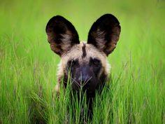 Wild Dog, Botswana    Photograph by Ijaz Bhatti
