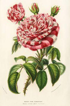 Louis van Houtte. Flore des Serres 1858