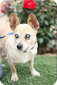 Special Needs! Blind! Pictures of Ray Charles a Corgi/Akbash Mix for adoption in Creston, CA who needs a loving home.