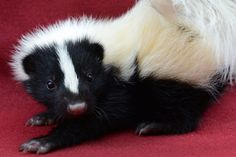 How to Make All-Natural Pet Treats - Bev Hudzinski - How to Make All-Natural Pet Treats Baby Skunk - Baby Wild Animals, Wild Animals Pictures, Cute Animal Pictures, Cute Baby Animals, Baby Pictures, Baby Opossum, Baby Skunks, Baby Sloth, Pet Photography Tips