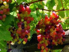 Red and White Grapes - Two of the surprising types of food plants that you can easily grow indoors.