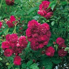 Bleu Magenta - David Austin Roses  - mingle with fragrant climber