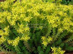 Sedum sexangulare - rozchodník šestiřadý Zahradnictví Krulichovi - zahradnictví, květinářství, trvalky, skalničky, bylinky a koření