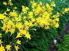 yellow daylilies - Google Search