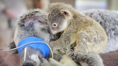 Joey Phantom climbed onto his mum's back and cuddled her throughout the procedure.