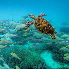 Há uma festa acontecendo na Grande Barreira de Coral - e todos estão convidados! Na verdade com a enorme quantidade de vida marinha que você vai encontrar no Great Barrier Reef Marine Park (Austrália) cada dia é como se fosse uma festa nesta parte incrível de Queensland. Estamos falando de tartarugas peixes arraias baleias golfinhos e moluscos gigantes só para citar alguns! . . . #australia #Queensland #marinepark #greatbarrierreef #vidamarinha #beach #praia #viajar #viagem #trip #travel…