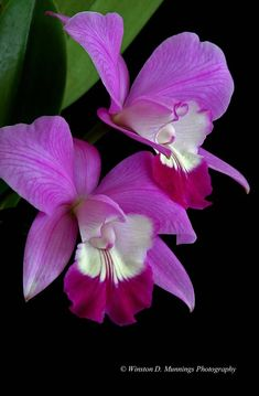LaelioCattleya [Lc] is a cross between Laelia and Cattleya, its parent genera. Laelia in is a small genus of 11 species and Cattleya is a genus of 42 species of orchids from Costa Rica to tropical South America. (©Photography by Winston D. Flowers Nature, Exotic Flowers, Amazing Flowers, My Flower, Purple Flowers, Beautiful Flowers, Flower Power, Purple Orchids, Orchid Flowers