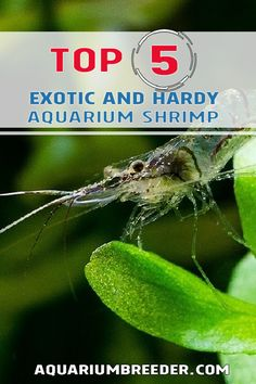 Top 5 Exotic and Hardy Aquarium Shrimp