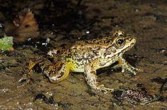 Rana cascadae -Cascades Frog