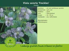 Viooltje - Viola sororia 'Freckles'