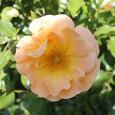 Amber Flower Carpet rose | by tesselaarusa