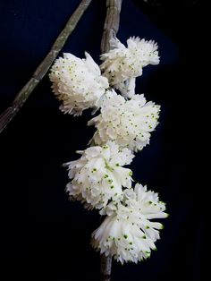 Orchid Dendrobium purpureum var. alba