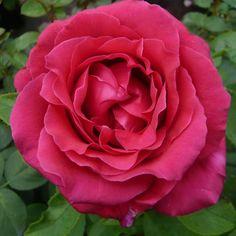 Rosier Rose Lalande de Pomerol - Delbard
