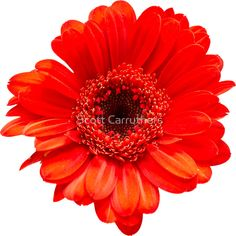 Red Gerbera Daisy Head flower