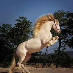 Andalusian Azteca Horse, Pure Beauty, Horses Rearing #HorseColicSymptomsFree http://www.loveyour.horse