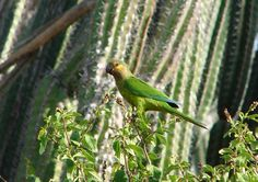 The endangered brown throated parakeet, prikichi in Papiamento.  It is only found on these southern Dutch Caribbean islands.