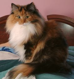 Crystalfjord Solar Flare - Norwegian Forest Cat