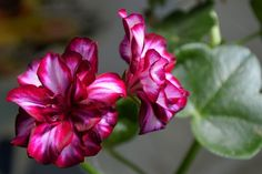 Rose, Plants, Gardening, Roses, Lawn And Garden, Plant, Planting, Yard Landscaping, Planets
